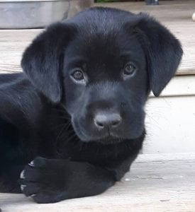 black Labrador Retriever puppy | Club Mead Labradors