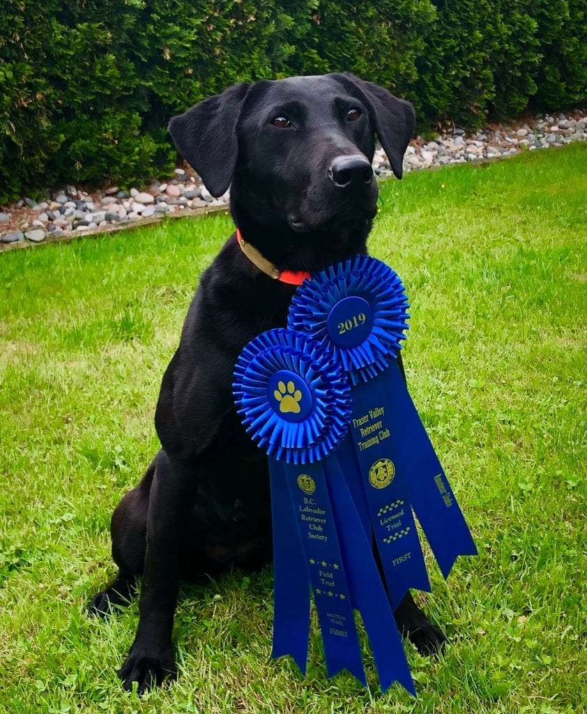 Black Black award winning dog sitting with ribbons | Club Mead Labradors
