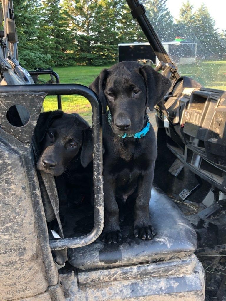 two black Labrador retriever puppies sitting on a quad seat