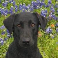 Head shot of black Labrador sitting in meadow   Club Mead Labradors