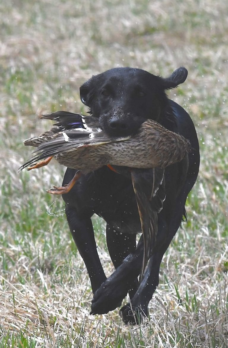 Black Lab running with duck for field trail hunting dog. Club Mead Labrador Training