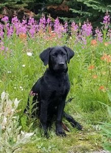 Loki Black Labrador Retriever sitting in meadow of flowers view from front | Club Mead Labradors