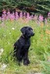 Loki Black Labrador Retriever sitting in meadow of flowers | Club Mead Labradors