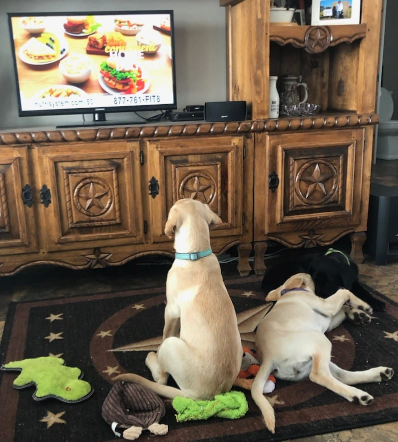 2 labrador puppies watching television