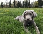 supposed silver lab