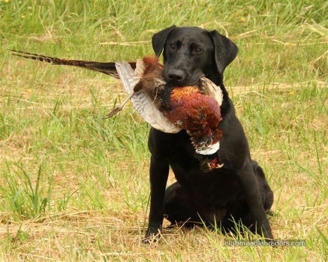 Labrador retriever holding pheasant